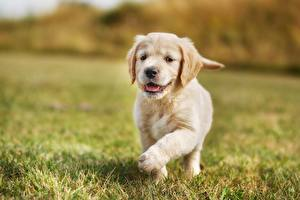 Картинки Собаки Золотистый ретривер Щенок Трава