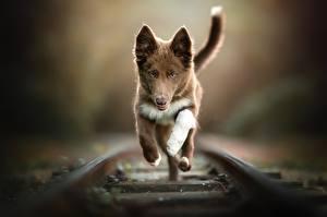 Фотографии Собаки Железные дороги Бег Рельсы Боке Животные