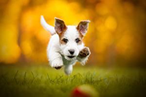 Обои Собаки Бежит Размытый фон Джек-рассел-терьер животное