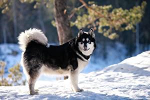 Фотографии Собака Зима Аляскинский маламут Снеге Животные