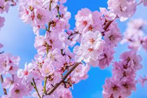 Картинки Цветущие деревья Сакура Ветвь Цветы