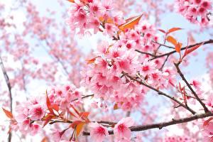 Картинка Цветущие деревья Сакуры На ветке Цветы