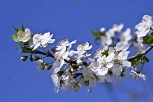 Фото Цветущие деревья Весенние Ветка Prunus Природа
