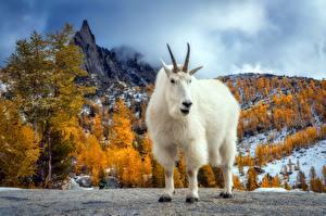 Фотография Коза козел животное