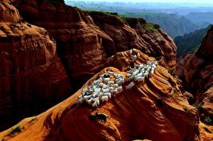Фото Коза козел Утес Стадо животное