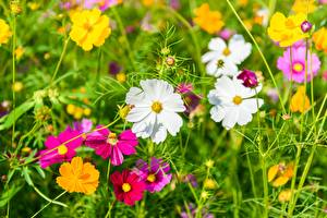 Фотографии Луга Лето Космея Цветы
