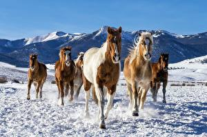 Картинка Лошадь Бег Снег Животные
