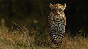 Фотографии Леопарды Размытый фон Животные