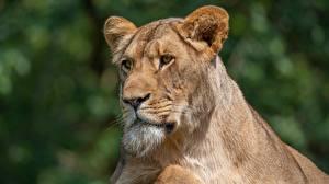 Фото Львица Головы Смотрит Морды животное