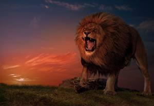 Обои Лев Вечер Злость животное