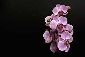 Фотографии Орхидея Розовая На черном фоне цветок