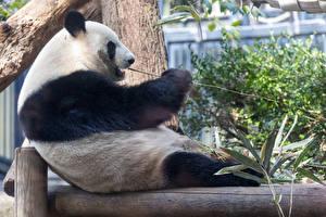 Фотография Панды Медведи Сидящие животное