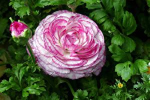 Картинки Лютик Вблизи Бутон цветок
