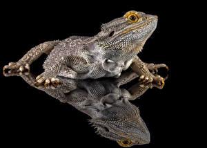 Обои Рептилии Отражении Ящерицы На черном фоне bearded dragon животное