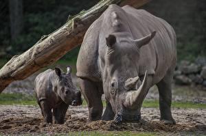 Обои для рабочего стола Носороги Детеныши 2 животное