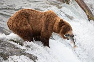 Картинки Речка Гризли Рыбы Рыбалка Водопады Охота животное