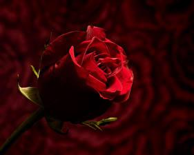 Фотографии Розы Крупным планом Размытый фон Красный Цветы