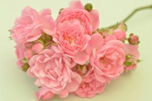 Картинки Роза Крупным планом Цветной фон Розовая цветок