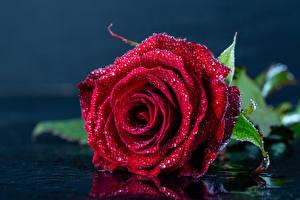 Фотографии Роза Вблизи Бордовая Капля цветок