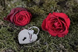 Фотография Розы Мох Красных Висячий замок Замковый ключ