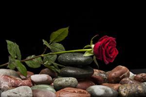 Картинка Камень Роза Красная Капли цветок