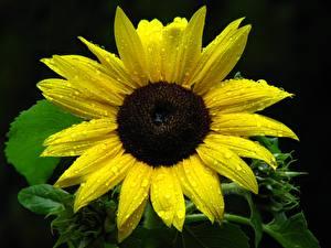 Обои Подсолнечник Крупным планом Черный фон Желтая Капель Цветы