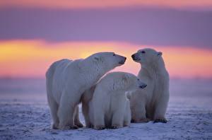 Картинки Рассветы и закаты Медведи Полярный Снегу Три Семья животное