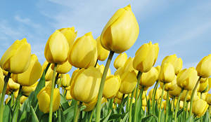 Картинка Тюльпаны Крупным планом Много Желтый цветок