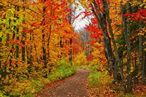 Обои США Осень Леса Листья Дерева Тропы Minnesota Природа
