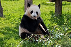 Фото Медведь Бамбуковый медведь Трава Сидит животное