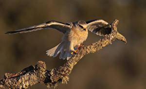 Фото Птицы Ветвь Крылья Elanus caeruleus Животные