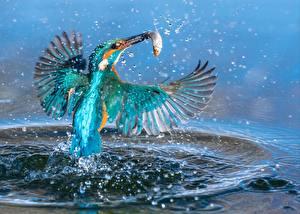 Фотография Птица Ловля рыбы Обыкновенный зимородок Брызги Животные