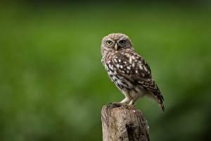 Фотографии Птица Совы Размытый фон little owl