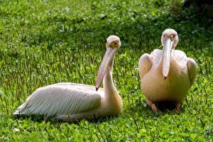 Картинки Птицы Пеликаны Трава Клюв Два Животные