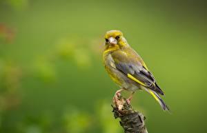 Обои Птицы Размытый фон greenfinch животное