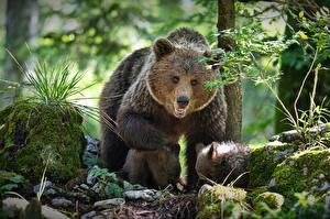 Обои для рабочего стола Медведи Бурые Медведи Детеныши Мать Три Alexander Perov Животные