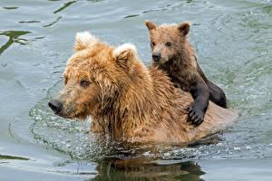 Фотография Медведь Гризли Детеныши Вода Двое Плывущий Мокрые Животные
