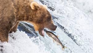 Фото Медведь Гризли Ловля рыбы Рыбы Водопады Охота Животные