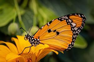 Картинки Бабочки Вблизи Danaus chrysippus, plain tiger