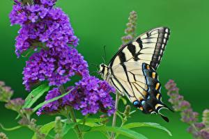 Картинки Бабочка Вблизи Papilio machaon