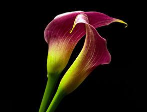 Фото Белокрыльник Крупным планом На черном фоне Вдвоем цветок