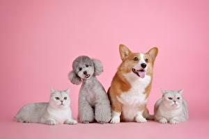 Фотография Кошка Собака Лежит Лежачие Пуделя Розовый фон Животные