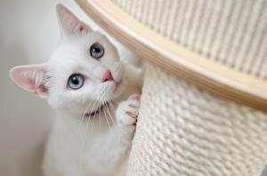 Картинка Кошки Смотрят Белый Усы Вибриссы Лапы Животные