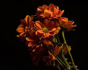 Обои Хризантемы Вблизи На черном фоне Оранжевая Цветы