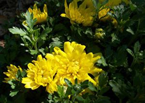 Картинка Хризантемы Желтые Цветы