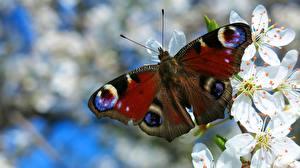 Фото Крупным планом Бабочки peacock