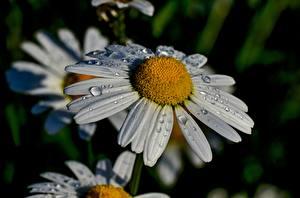 Фотография Вблизи Ромашки Боке Капли Цветы