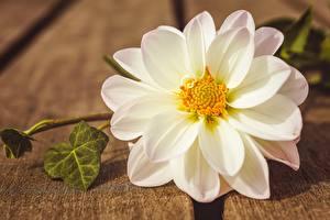 Обои Крупным планом Георгины Белых цветок