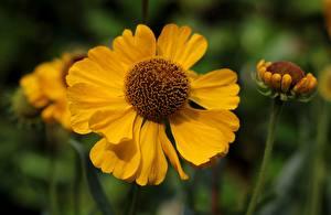 Картинки Вблизи Желтых Размытый фон Helenium, Sneezeweed Цветы