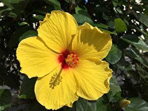 Фотографии Крупным планом Гибискусы Желтые Цветы